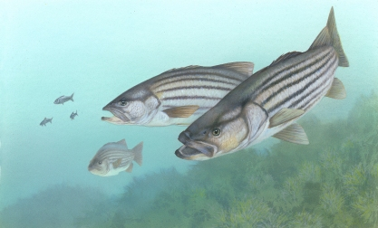 Striped_bass_FWS_1